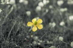 Primo piano della rosa di giallo con il fuoco molle - profondità di campo Fotografie Stock Libere da Diritti