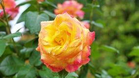 Primo piano della rosa di giallo su un fondo verde archivi video