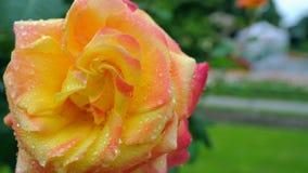 Primo piano della rosa di giallo su un fondo verde il movimento della macchina fotografica intorno al fiore permette di vedere da stock footage