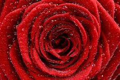 Primo piano della rosa rossa Fotografie Stock