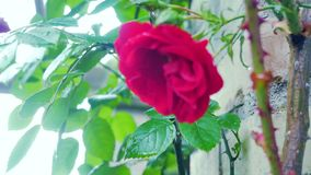 Primo piano della rosa rossa su un fondo di un muro di mattoni stock footage
