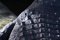 Primo piano della scala della parte posteriore del coccodrillo foto Pelle dell'alligatore Pelle del coccodrillo al sole Fotografia Stock