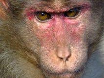 Primo piano della scimmia Fotografie Stock Libere da Diritti