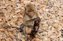 Primo piano della scimmia di macaque Fotografia Stock
