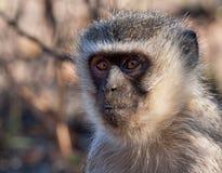 Primo piano della scimmia di Vervet Fotografia Stock Libera da Diritti