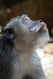 Primo piano della scimmia il simbolo del nuovo anno cinese 2016 Fotografia Stock