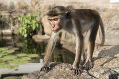 Primo piano della scimmia La Sri Lanka Fotografia Stock
