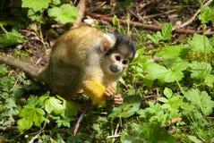 Primo piano della scimmia scoiattolo Fotografie Stock Libere da Diritti