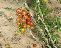 Primo piano della serra Cherry Tomatoes fotografie stock libere da diritti