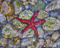 Primo piano della stella di Mar Rosso Fotografia Stock