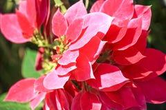 Primo piano della stella di Natale rossa, fiore della stella di Natale immagine stock