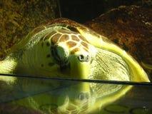 Primo piano della tartaruga Immagini Stock