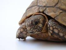 Primo piano della tartaruga Fotografie Stock Libere da Diritti
