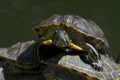 Primo piano della tartaruga d'acqua dolce che fissa alla macchina fotografica Fotografie Stock