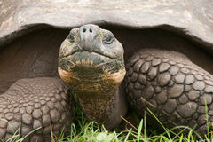 Primo piano della tartaruga di Galapagos Fotografia Stock Libera da Diritti