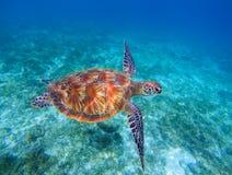 Primo piano della tartaruga di mare in acqua di mare Primo piano della tartaruga di mare verde Fauna selvatica della barriera cor Immagini Stock Libere da Diritti