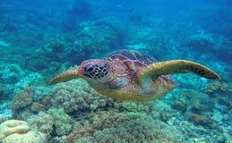 Primo piano della tartaruga di mare in barriera corallina Foto subacquea della tartaruga verde Animale oceanico in natura selvagg fotografie stock libere da diritti