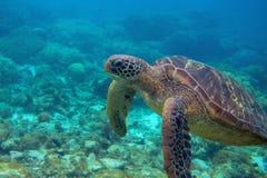 Primo piano della tartaruga di mare Foto subacquea pericolosa della tartaruga marina Animale oceanico in natura selvaggia fotografia stock