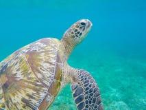 Primo piano della tartaruga di mare verde in acqua di mare bassa Primo piano della tartaruga del mare Fotografia Stock Libera da Diritti