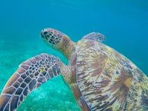Primo piano della tartaruga di mare verde in acqua di mare bassa Primo piano della tartaruga di mare Fotografie Stock Libere da Diritti