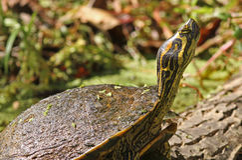 Primo piano della tartaruga dipinta Immagini Stock