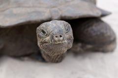 Primo piano della tartaruga gigante Immagini Stock Libere da Diritti