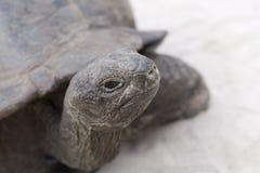 Primo piano della tartaruga gigante Fotografia Stock Libera da Diritti