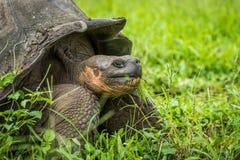 Primo piano della tartaruga gigante di Galapagos che mastica erba Fotografie Stock Libere da Diritti