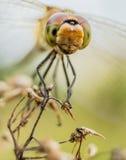 Primo piano della tenuta della libellula su una pianta Immagini Stock