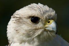 Primo piano della testa bianca del gyrfalcon nel profilo Fotografia Stock