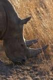 Primo piano della testa bianca di rinoceronte con pelle corrugata dura Fotografie Stock