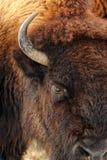 Primo piano della testa del bufalo fotografia stock libera da diritti