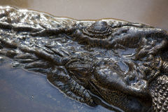 Primo piano della testa del coccodrillo dell'acqua salata Fotografia Stock