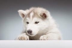 Primo piano della testa del cucciolo del husky Fotografia Stock