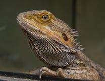 Primo piano della testa del drago barbuto centrale Fotografia Stock