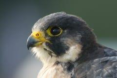 Primo piano della testa del falco pellegrino che affronta a sinistra Fotografia Stock