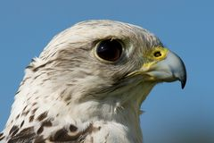 Primo piano della testa del gyrfalcon contro cielo blu Fotografie Stock