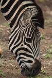 Primo piano della testa della zebra mentre pascendo nel parco nazionale di Kruger Fotografia Stock Libera da Diritti