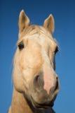 Primo piano della testa di cavallo Fotografie Stock