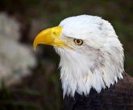 Primo piano della testa di Eagle calvo immagine stock