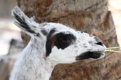 Alpaga Immagini Stock Libere da Diritti