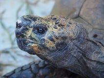 Primo piano della testa di una tartaruga che riempie quasi l'intera immagine fotografia stock libera da diritti