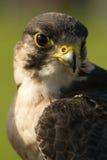 Primo piano della testa e del collo del falco pellegrino Fotografie Stock