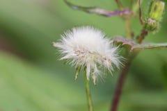 Primo piano della testa seminata di un fiore del Taraxacum del dente di leone fotografia stock libera da diritti