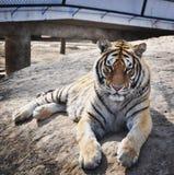 Primo piano della tigre a Harbin fotografia stock libera da diritti