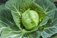 Primo piano della verdura fresca del cavolo nel campo Immagine Stock Libera da Diritti