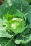 Primo piano della verdura fresca del cavolo nel campo Fotografie Stock