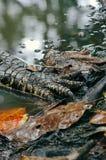 Primo piano della zampa del coccodrillo Fotografia Stock