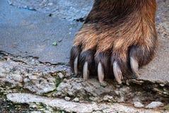 Primo piano della zampa di orso Fotografie Stock Libere da Diritti