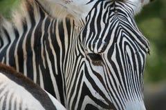 Primo piano della zebra fotografie stock